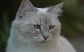 Gato blanco, mirada, cara, ojos, oídos, nebuloso