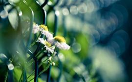 Flores de diente de león blanco, cerca de alambre, nebuloso