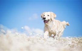 Cão branco correndo, flores, nebuloso, céu azul