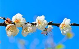 Белые цветы, синий фон, весна