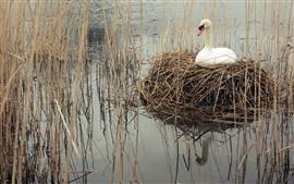 Белый лебедь, трава, гнездо, озеро