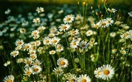 Wildflowers, ромашка, белые цветы, лето