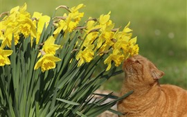 Aperçu fond d'écran Jonquilles jaunes, fleurs, chat