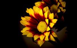 Желтые или оранжевые цветы, лепестки, черный фон