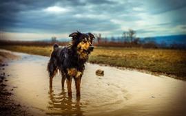 壁紙のプレビュー オーストラリアの羊飼い、濡れた犬、水たまり