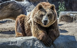 Preview wallpaper Bear, front view, zoo