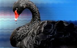 Aperçu fond d'écran Oiseau, cygne noir, plumes, cou, eau