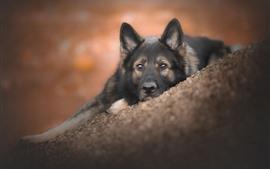 Descanso de perro negro en la pendiente, mira, cara