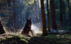 Vorschau des Hintergrundbilder Hund, Wald, Bäume, Nebel, Sonnenstrahlen