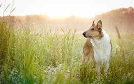 Dog, look, wildflowers, grass, summer