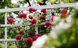 Садовые цветы, красные розы, забор