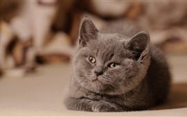 Preview wallpaper Gray kitten, look, face, cute pet