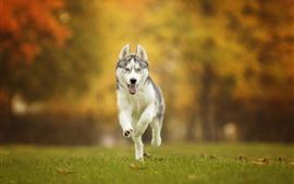 Cão husky correndo, grama, outono