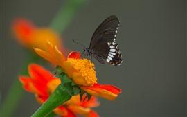 Fotografía macro de insectos, mariposa negra de alas, flor de naranja