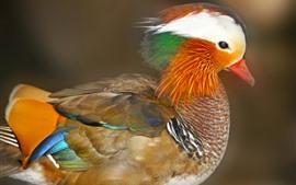 Pato Mandarim, Penas Coloridas, Cabeça, Pássaro