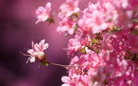 Muchas flores rosas, rododendro, pétalos, nebulosos.