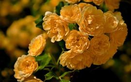 Vorschau des Hintergrundbilder Viele gelbe Rosen, Blumennahaufnahme