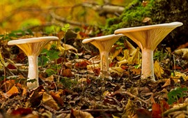 Champignons, feuilles, automne