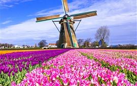 Países Baixos, moinho de vento, campo de tulipas