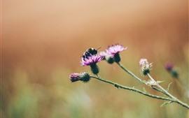Flores cor de rosa, abelha, inseto macro fotografia