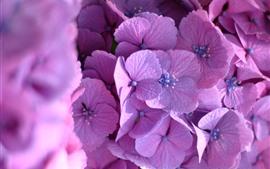 Fotografia macro de hortênsia rosa