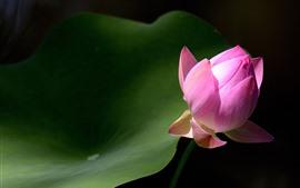 Pink Lotus Bud, hoja verde, primer plano de la flor