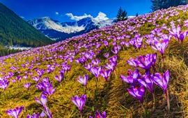 Azafrañas Púrpuras, Flores, Montañas, Nieve, Primavera