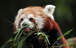 壁紙のプレビュー 赤いパンダは竹を食べる