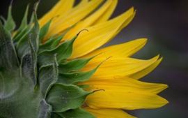 Preview wallpaper Sunflower back view, yellow petals