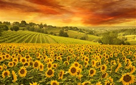 Preview wallpaper Sunflowers, field, trees, clouds, nature