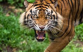 Preview wallpaper Tiger, face, teeth, look, wildlife