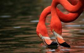 Dois flamingos, pescoço, água