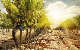 Виноградник, виноград, зеленые листья, солнце