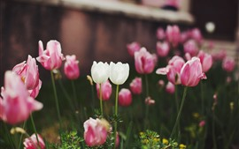 Flores de tulipa branca e rosa, jardim