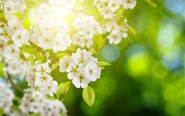 Flores de maçã branca florescer, galhos, primavera, raios de sol