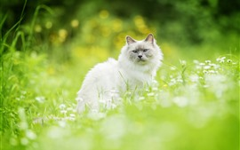 Preview wallpaper White cat, look back, wildflowers, green grass