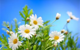 白いカモミールの花、花びら、緑の葉、青い背景