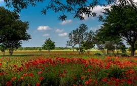 Aperçu fond d'écran Austin, fleurs de coquelicot rouge, arbres, USA