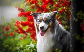 Preview wallpaper Australian shepherd dog, red flowers, hazy background