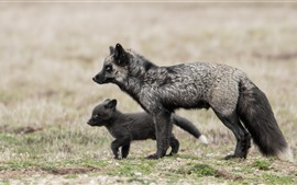 Preview wallpaper Black fox and cub, wildlife