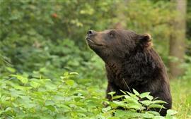 預覽桌布 棕熊,植物,綠葉