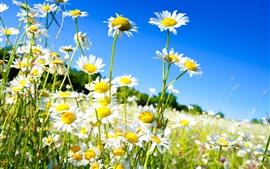 Camomila, flores brancas, pétalas, caule, céu azul