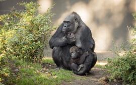 Preview wallpaper Gorilla and cub