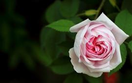 Luz rosa rosa, flor, pétalas, folhas verdes