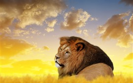 Preview wallpaper Lion look back, wildlife, clouds