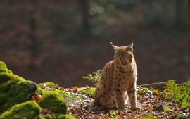 Preview wallpaper Lynx, yawn, wildlife