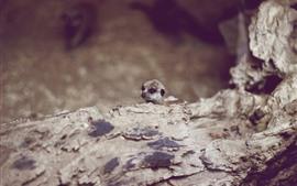 Aperçu fond d'écran Meerkat, animal mignon, brumeux