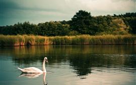 壁紙のプレビュー 1つの白い白鳥、湖、草