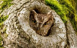 Сова, взгляд, дерево, дыра