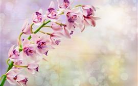 Flores cor de rosa, phalaenopsis, pétalas, orquídea